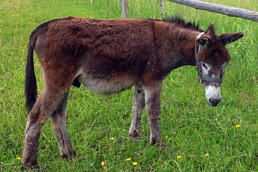Donkey, Animal, Beast Of Burden, Meadow, Pasture