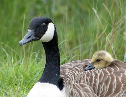 Goose, Gosling, Wildlife, Bird, Baby, Cute