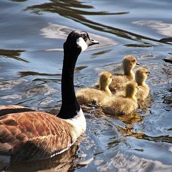 Goose, Geese, Mother Goose, Goslings, Nature, Bird