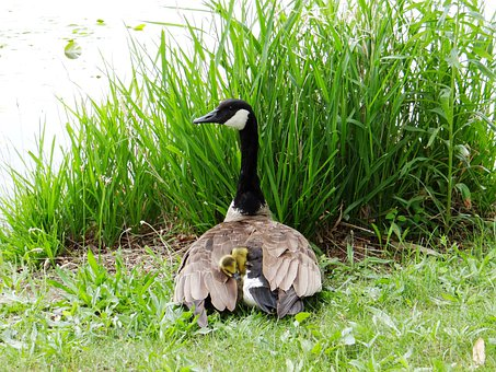 Gosling, Goose, Chicks, Mother, Protect, Bird