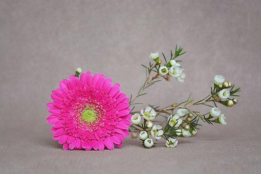 Gerbera, Frangipani, Blossom, Bloom, Pink, White