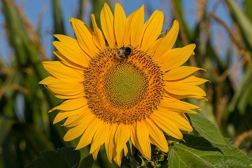 Sun Flower, Blossom, Bloom, Summer, Yellow, Nature