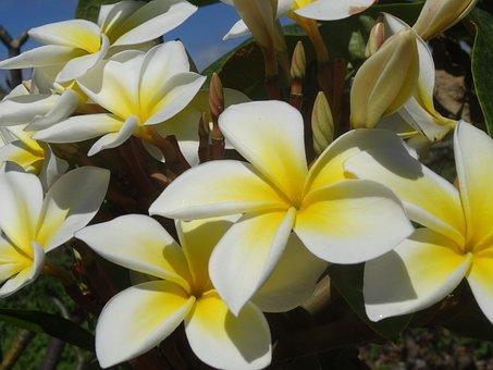 Plumeria, Blossom, Bloom, Fragrance, Beauty, Flower
