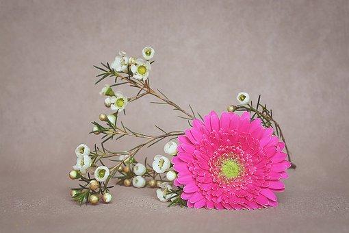 Gerbera, Blossom, Bloom, Petals, Pink, Frangipani