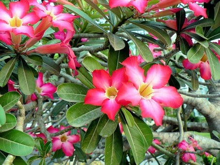 Frangipani, Viet Nam, Booed, Fragrant Pink Flower