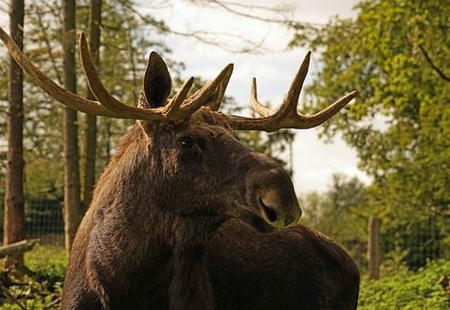 Moose, Antler, Bull Moose, Animal, Sweden, Head