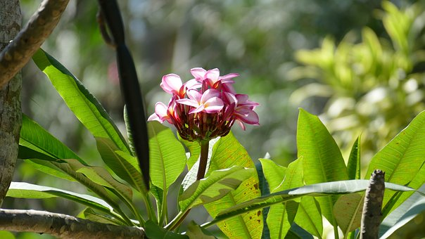 Frangipani, Bush, Nature, Summer, Tropical, Temple Tree