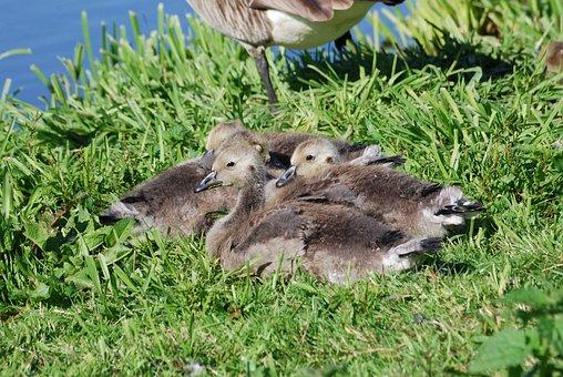 Canada Geese, Branta Canadensis, Goslings, Waterfowl