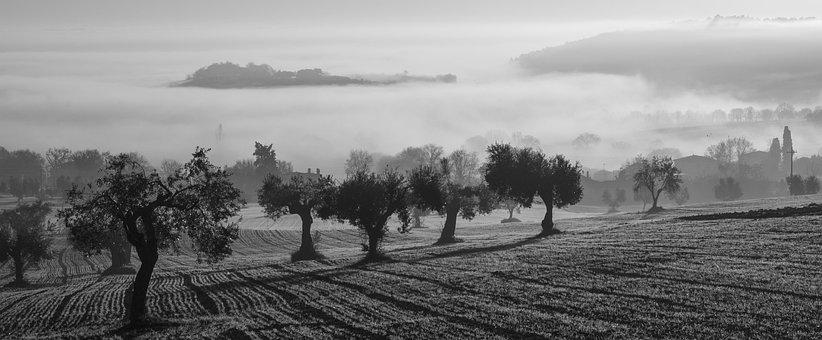 Olive Harvest, Fog, Olive Trees, Field, Castelfidardo