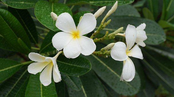 Flowers, Champa, Champa White, Fragrapanti