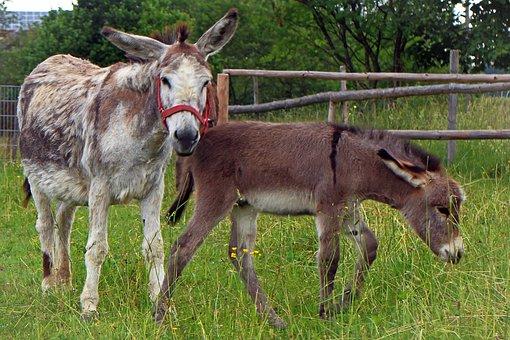 Donkey, Donkey Foal, Foal, Mother, Child, Baby, Animal