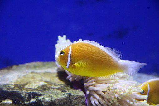 Amfiprion, Fish, Clown Fish, Aquarium, Undersea World