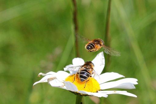 Bees, Common Sand Bees, Andrena Flavipes, Hymenoptera