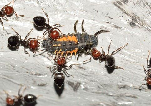 Insects, Hymenoptera, Ant, Crematogaster, Scutellaris