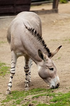Donkey, Mammal, Fauna, Animal, Wild
