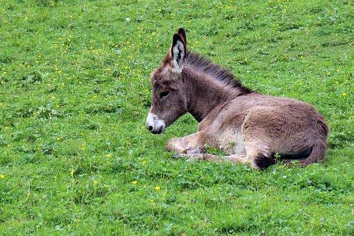 Donkey, Donkey Foal, Foal, Baby, Animal, Animal World