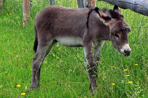 Donkey, Donkey Foal, Foal, Baby, Animal, Mammal