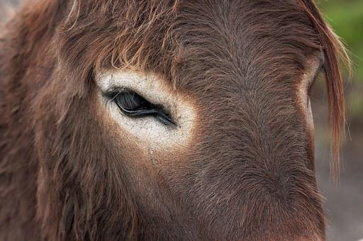 Donkey, Donkey Head, Eye, Animal, Animal Head, Fur