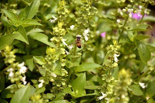 Bee, Nature, Basil, Macro, Spring, Garden, Environment