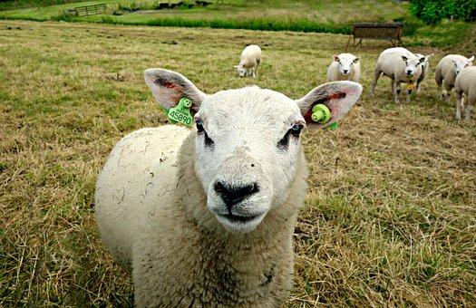 Sheep, Animal, Farm Animal, Wool, Sheep Milk