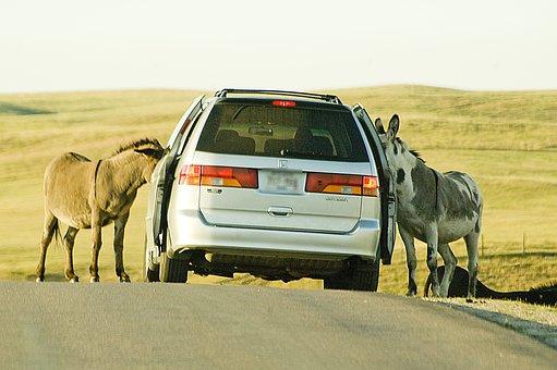 Donkeys, Car, Road, Begging, Feed, Feed Me, Intruder