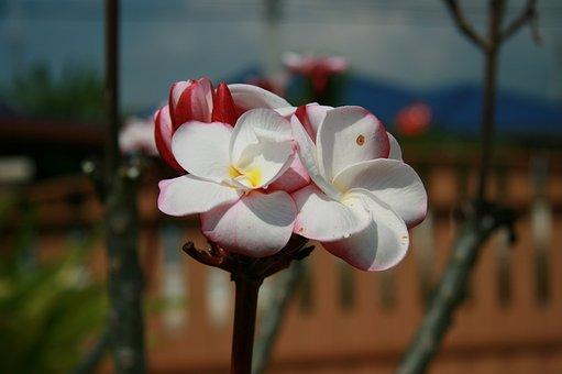 Frangipani, Flowers, More Information, Fragrapanti