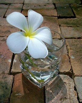 Fragrapanti, Flowers, More Information, Frangipani