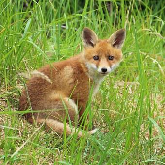 Young Fox, Fox Puppy, Fuchsbau, Curious