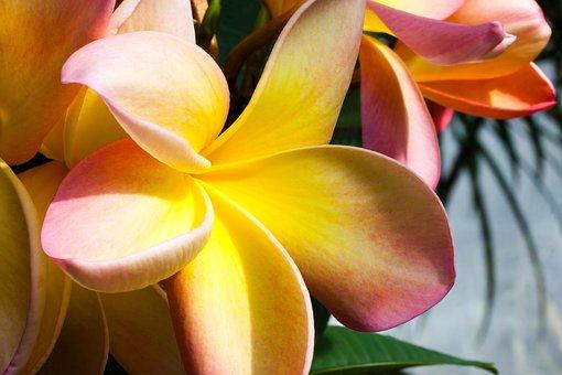 Flower, Tropical, Frangipani, Plumeria, Frangipandi