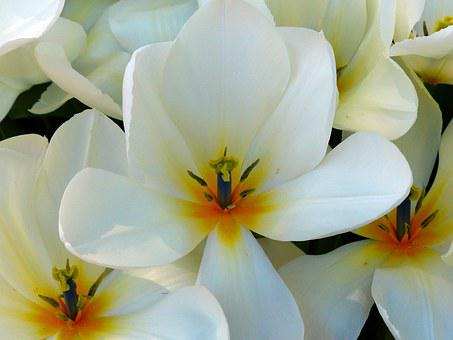 Plumeria Rubra Kao Puang, Frangipani, Blossom, Bloom