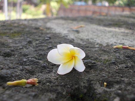 Flower, White, Frangipani, Kalachuchi, Fragrant, Yellow