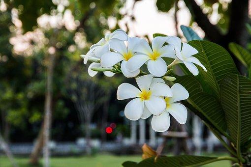 Flowers, White, Frangipani, Fragrapanti