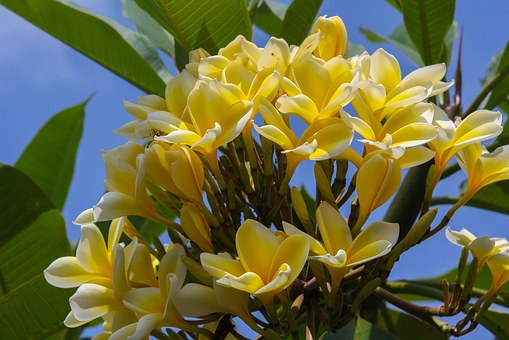 Frangipani, Pomelia, Yellow Plumeria, Flowers, Nature