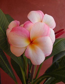 Frangipani, Flower, Scent, Nature, Plumeria, Tropical