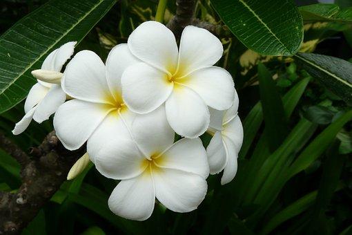 Frangipani, Thailand, Exotic Flower, White, Asia
