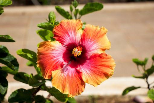 Hawaii, Flower, Garden, Orange, Yellow, Red, Macro