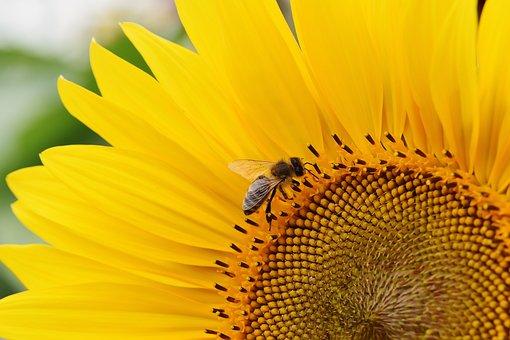 Sunflower, Bees, Summer, Garden, Blossom, Bloom, Yellow