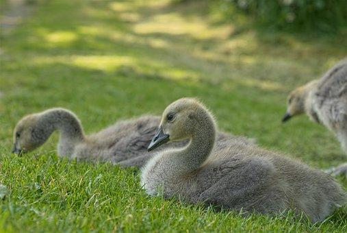 Goose, Animal, Bird, Young Goose, Gosling, Grass