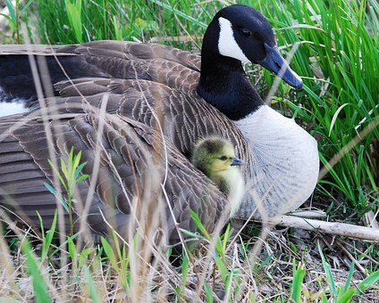 Canada Goose, Gosling, Nest, Goose, Wildlife, Waterfowl