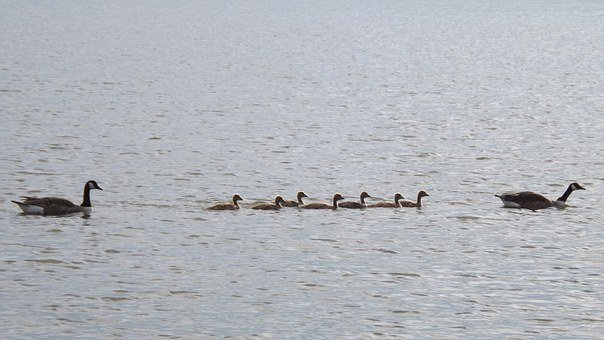 Gosling, Anatidae, Goose, Waterfowl, Lake, Baby, Wild
