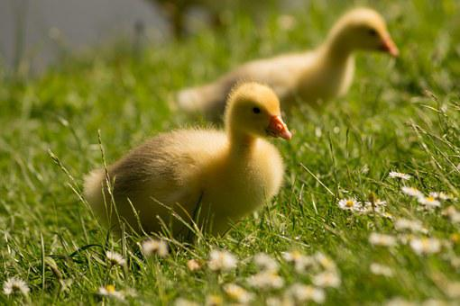 Goslings, Duckling, Duck, Chick, Farm Animal, Geese
