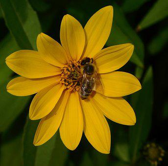 Bee, Bee On Flower, On A Flower, Honey Bee, Pollination