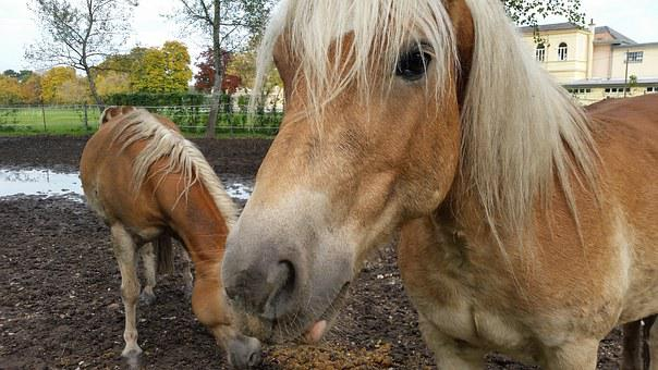 Horses, Animals, Fiaker, Ride, Haflinger, Horseshoe