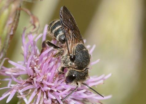 Insects, Bee, Hymenoptera, Andrena