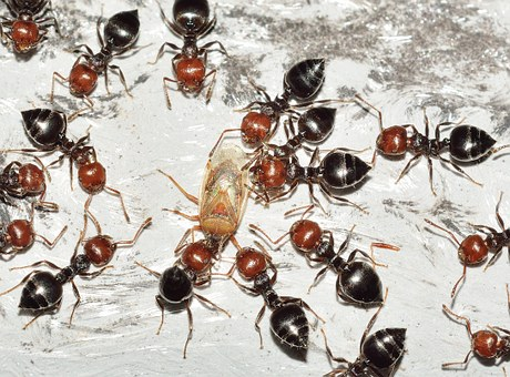 Ant, Insects, Hymenoptera, Crematogaster, Scutellaris