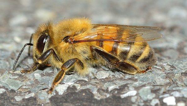 Insects, Hymenoptera, Apis, Mellifera