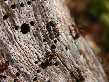 Insect, Hymenoptera, Ant, Red Wood Ant, Formica Rufa