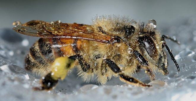 Insects, Hymenoptera, Apis, Mellifera, Drops, Macro