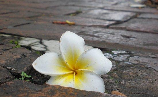Flower, White, Yellow, Frangipani, Tropical, Kalachuchi