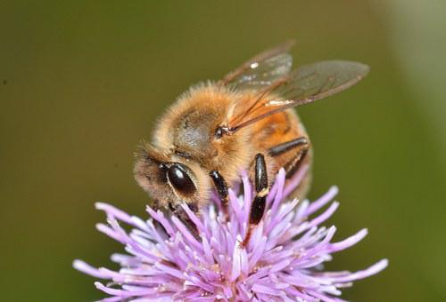 Hymenoptera, Bee, Apis, Mellifera